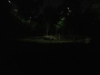 Greater Asian Rhinoceros - Night Safari