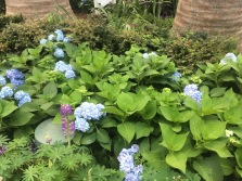 Fields of more Blue Flowers