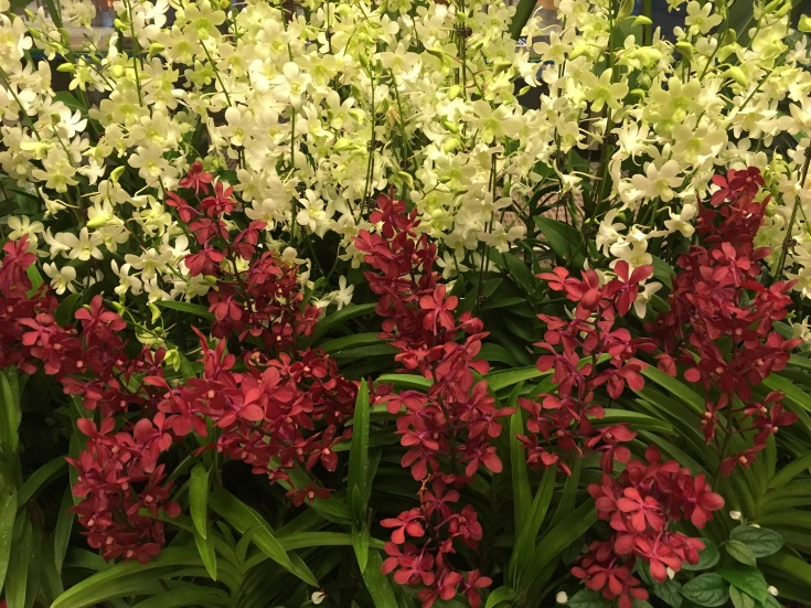 Red and White Orchid